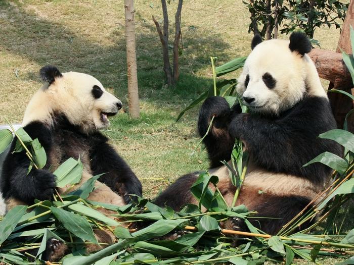 Безобидные панды