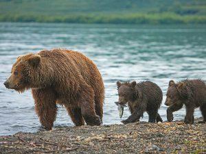 Медвежья семья