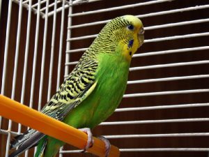 Взрослый попугай