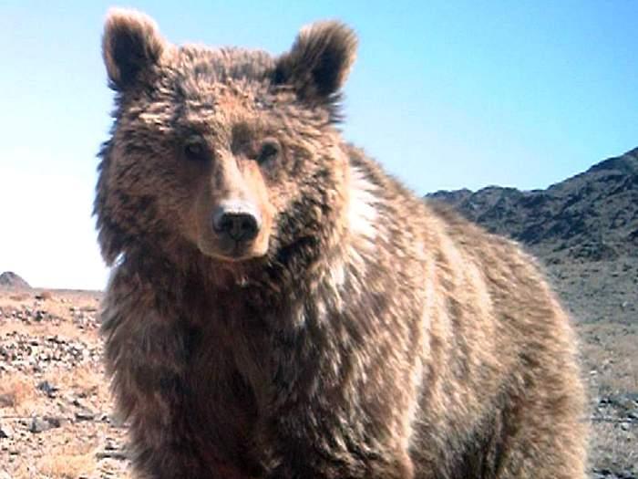 Пустынный медведь