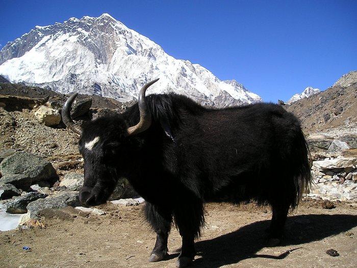 Самый сильный бык
