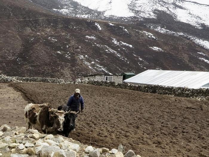 Как пашут землю в Тибете