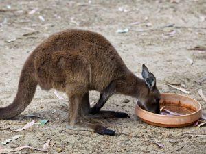 Забота о кенгуру