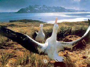 Пара альбатросов