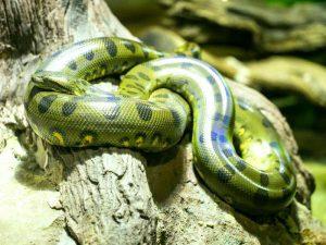 Зеленая гигантская анаконда