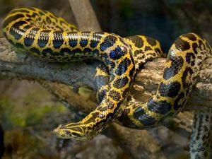 Желтая анаконда