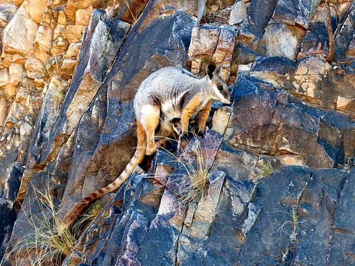 Желтоногий скальный валлаби