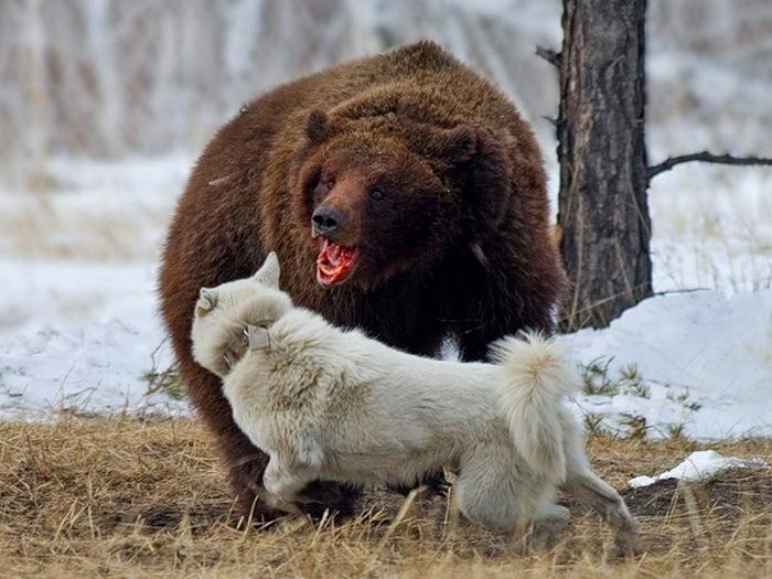 Медвежий нрав
