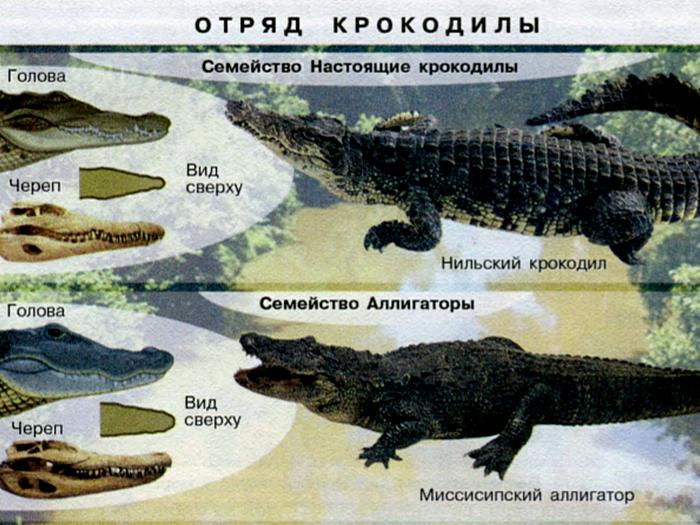 Сравнение аллигатора и крокодила