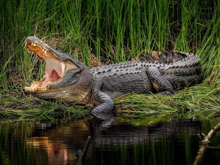 рев аллигатора