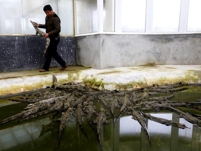 Ферма аллигаторов в Китае