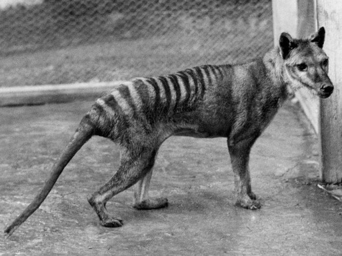 Вымершее животное Австралии