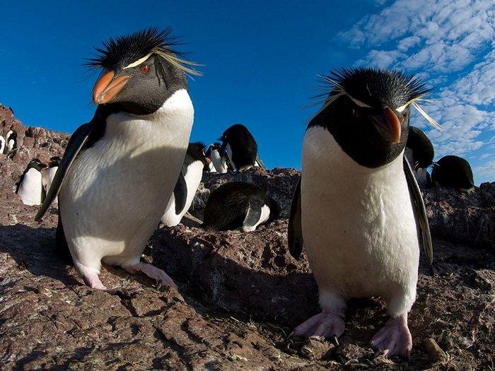 Толстоклювый пингвин или пингвин Виктории