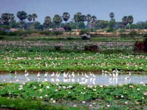 Лотосы в Камбодже
