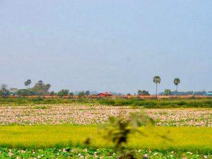Ферма съедобных лотосов в Камбодже