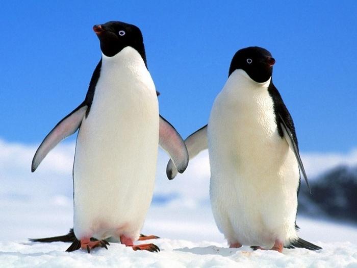Как пингвины приспособились к жизни