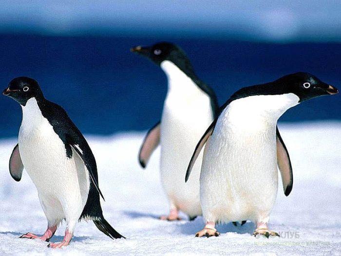 Пингвинья троица