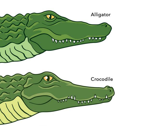 Схема отличия аллигатором и крокодилом