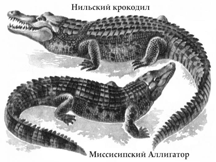 Крокодил и аллигатор