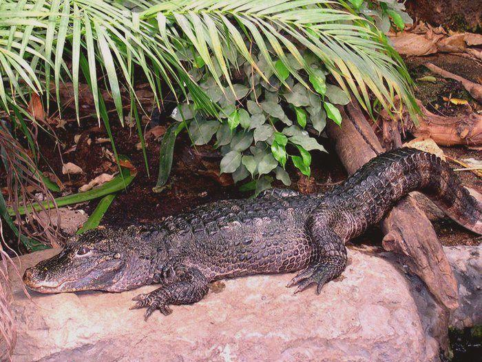 Alligator sinensis