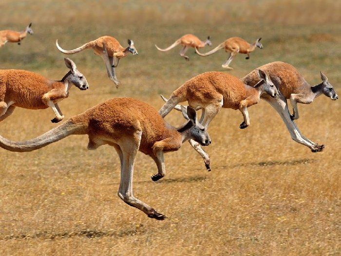 Скачки кенгуру