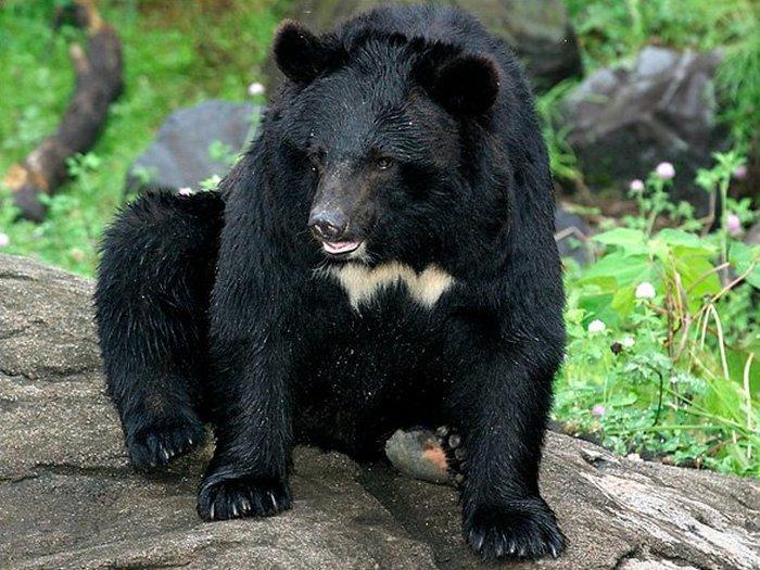 Белогрудый медведь