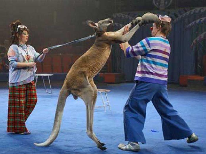 Бокс с кенгуру