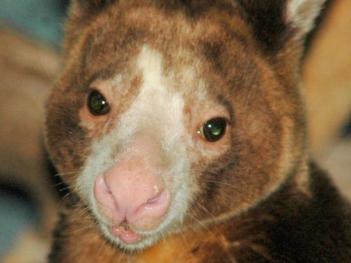 Брат кенгуру