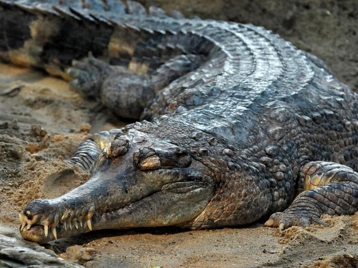 Чудо крокодил