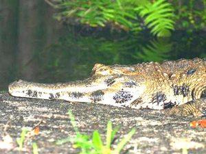 Crocodylus cataphractus