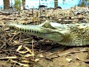 Crocodylus johnstoni