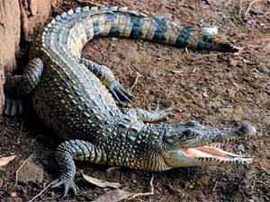 Crocodylus novaeguineae
