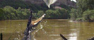Кубинский крокодил. Где и как живут кубинские крокодилы?