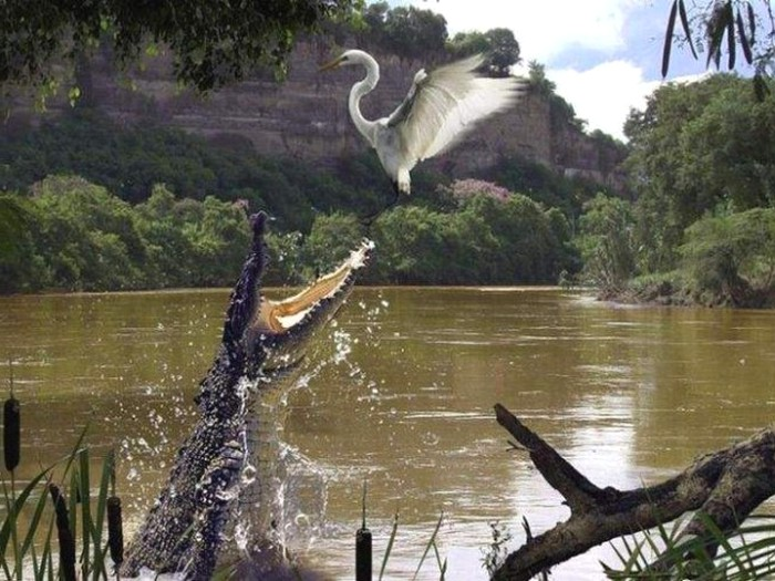 Crocodylus rhombifer