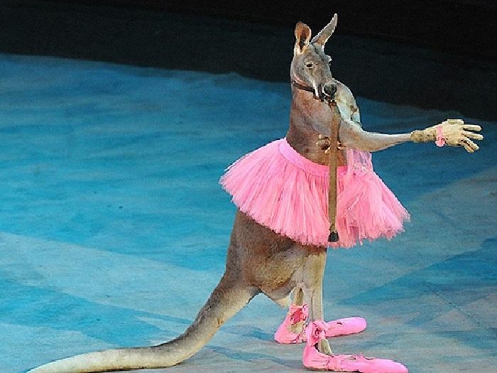 Дама кенгуру