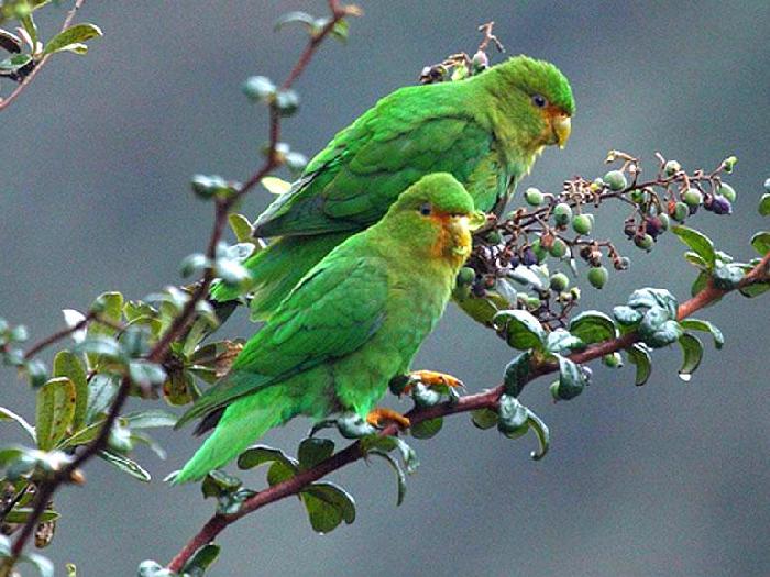 Дикие попугаи Катерины