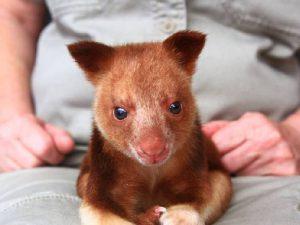 Домашний древесный кенгуру