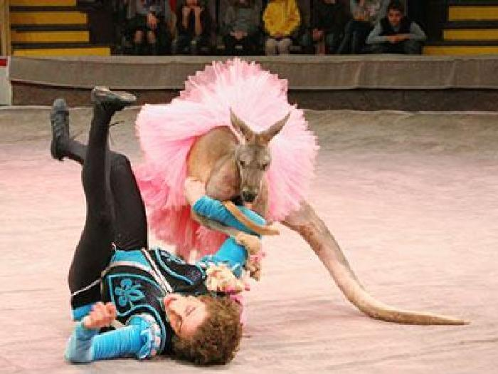 Драчливые кенгуру