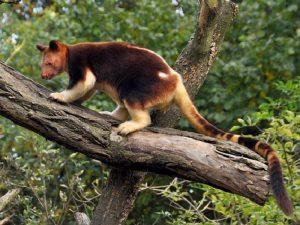 Валлаби древесные кенгуру. Описание Валлаби