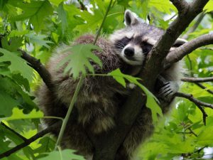 Енот спящий на дереве