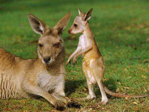 Маленький, а уже кенгуру