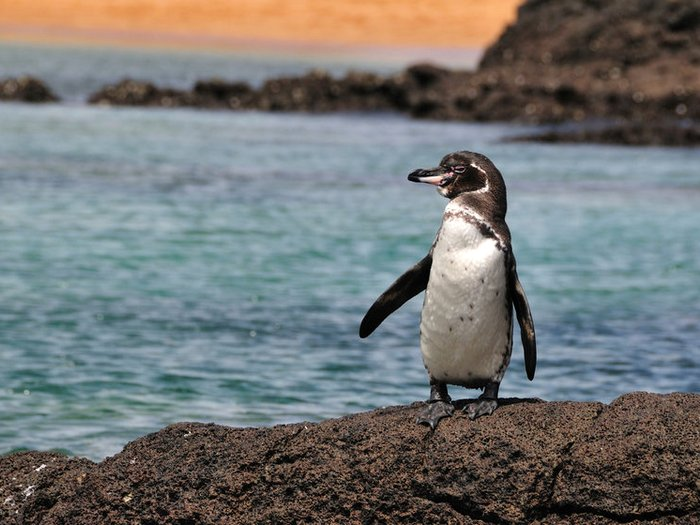 Пингвин с острова Фернандина