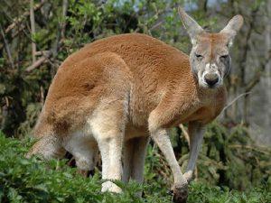 Гибридный кенгуру