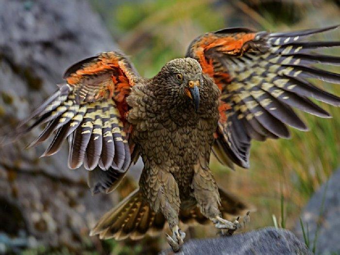 Горный попугай Кеа