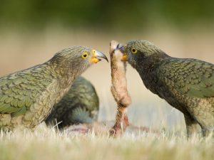 Хищные попугаи Кеа