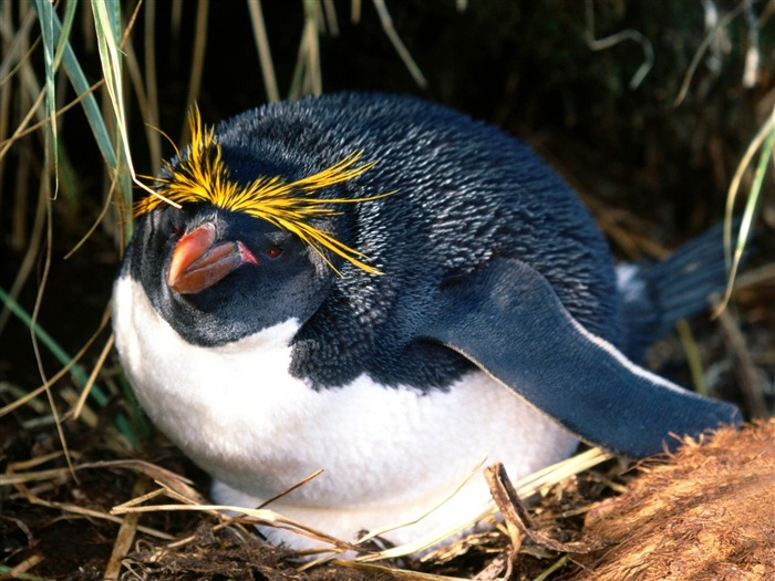 Пингвин Виктории