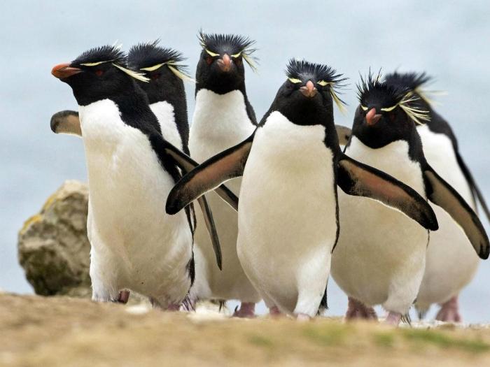 где обитают хохлатые пингвины