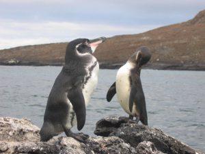 Экваториальный пингвин
