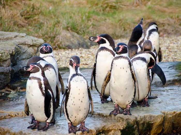 Перуанский пингвин