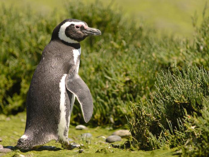 Магелланский пингвин